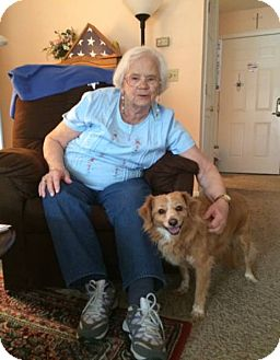 Sheltie, Shetland Sheepdog/Border Collie Mix Dog for adoption in Virginia Beach, Virginia - Roxie