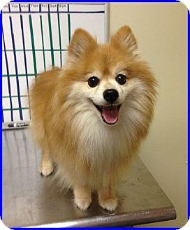 Pomeranian Dog for adoption in Dallas, Texas - Fidel