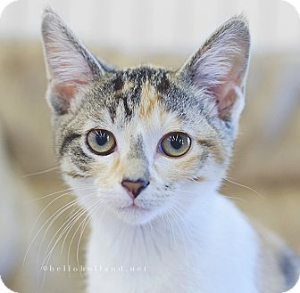 Calico Kitten for adoption in Fort Worth, Texas - Posie