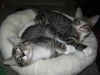 Domestic Shorthair Cat for adoption in Arlington, Texas - Tin Man