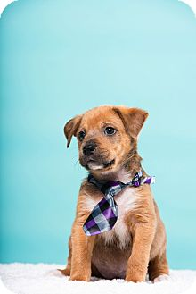 Terrier (Unknown Type, Small)/Spaniel (Unknown Type) Mix Dog for adoption in Houston, Texas - Butch