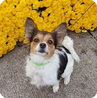 Papillon Dog for adoption in Westfield, Indiana - Gypsy (in Indiana)