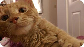 Maine Coon Kitten for adoption in Richmond, Virginia - Bayliss