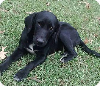 Labrador Retriever Mix Dog for adoption in Plano, Texas - Jess