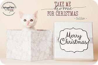 Domestic Mediumhair Kitten for adoption in Miami Shores, Florida - Delilah