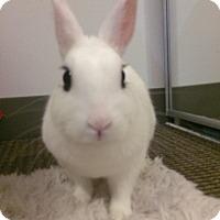 Adopt A Pet :: Stella the Hotot - Conshohocken, PA