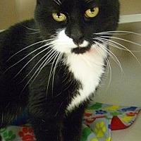 Adopt A Pet :: Oreo Cookie - Hamburg, NY