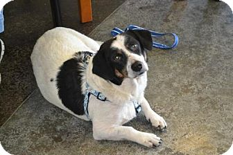 Corgi/Collie Mix Dog for adoption in McKinney, Texas - Panda