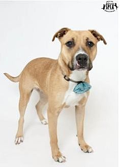 Staffordshire Bull Terrier Mix Dog for adoption in Jefferson, Louisiana - Angel - In Training