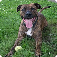 Boxer Mix Dog for adoption in Fairfax Station, Virginia - Koda N