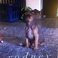 Adopt A Pet :: RODNEY 12 WEEK SHEPHERD MALE - Mesa, AZ