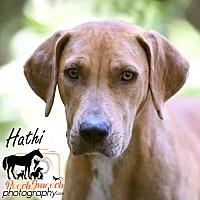 Adopt A Pet :: Hathi - Broadway, NJ