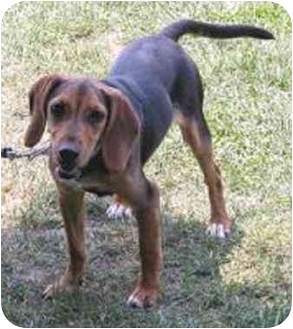 Beagle Mix Puppy for adoption in Oxford, Michigan - Paradise