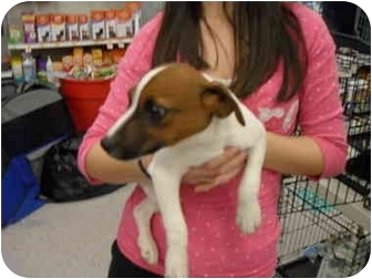 Jack Russell Terrier Puppy for adoption in Lonedell, Missouri - Logan