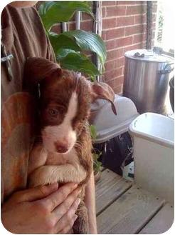 Pointer/Labrador Retriever Mix Puppy for adoption in Evansville, Indiana - Belladonna