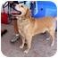 Photo 2 - Labrador Retriever Dog for adoption in Albuquerque, New Mexico - Bodo