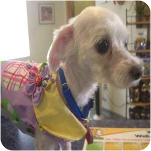 Maltese Mix Dog for adoption in Phoenix, Arizona - Chantilly