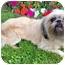 Photo 2 - Lhasa Apso/Shih Tzu Mix Dog for adoption in Los Angeles, California - REENIE