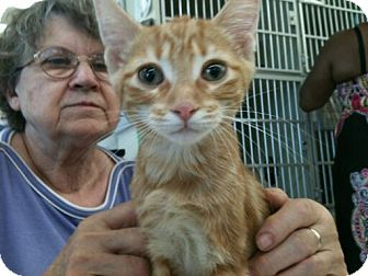 Domestic Shorthair Cat for adoption in Detroit, Michigan - Houdini 3