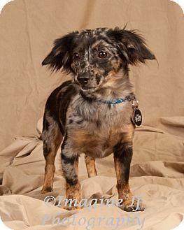 Dachshund Mix Puppy for adoption in Oklahoma City, Oklahoma - Butch