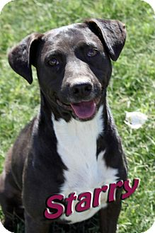 Labrador Retriever/American Pit Bull Terrier Mix Dog for adoption in Midland, Texas - Starry