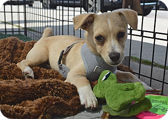 Corgi/Terrier (Unknown Type, Small) Mix Puppy for adoption in Los Angeles, California - Nemo