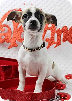 Chihuahua/Jack Russell Terrier Mix Puppy for adoption in Westminster, Colorado - Cayenne