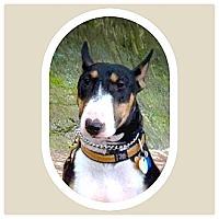 Adopt A Pet :: Laney - Sachse, TX