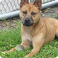 Adopt A Pet :: Ginger - St. Petersburg, FL