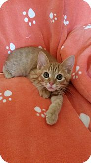 Domestic Shorthair Kitten for adoption in Chattanooga, Tennessee - George