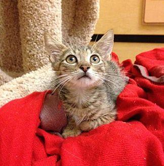 Domestic Shorthair Kitten for adoption in Miami, Florida - Refael