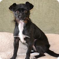 Adopt A Pet :: Lewis I am a DOLL & love dogs! - Redondo Beach, CA
