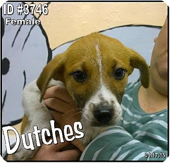 Jack Russell Terrier/Collie Mix Dog for adoption in Corinth, Mississippi - Dutchess