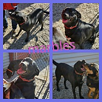 Labrador Retriever Mix Puppy for adoption in Gainesville, Georgia - marbles