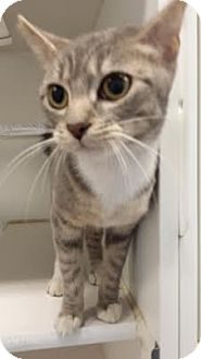 Domestic Shorthair Cat for adoption in Reisterstown, Maryland - Twigs