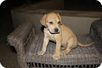 Boxer/Shar Pei Mix Puppy for adoption in Gilbert, Arizona - Rossi