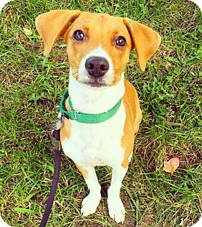 Mountain Cur Mix Puppy for adoption in Oak Park, Illinois - Casey