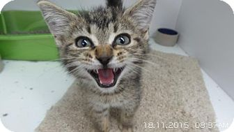 Domestic Shorthair Kitten for adoption in Crown Point, Indiana - Misfit