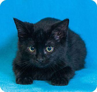 Domestic Mediumhair Cat for adoption in Las Vegas, Nevada - Messina