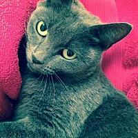 Domestic Shorthair Cat for adoption in Fairfax Station, Virginia - Dutchess