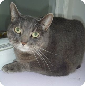 Domestic Shorthair Cat for adoption in Hamburg, New York - Tang