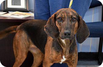 Plott Hound Dog for adoption in Cincinnati, Ohio - Lulu: Fairfax