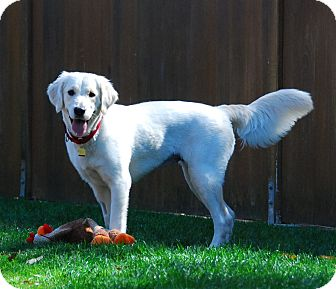 Golden Retriever Dog for adoption in Torrance, California - Rosie
