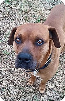 Mastiff Mix Dog for adoption in Williamsburg, Virginia - KANE
