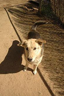 Siberian Husky/Shepherd (Unknown Type) Mix Dog for adoption in Pt. Richmond, California - CASSIE