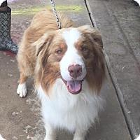 Adopt A Pet :: Sonny - Brattleboro, VT