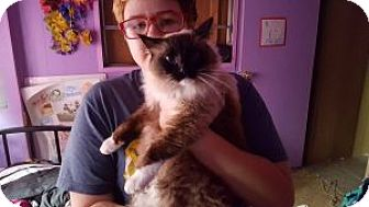 Birman Cat for adoption in Anchorage, Alaska - Dynamite