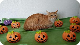 Domestic Shorthair Cat for adoption in China, Michigan - Tangerine
