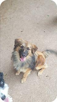 Sheltie, Shetland Sheepdog/Terrier (Unknown Type, Medium) Mix Dog for adoption in Snyder, Texas - Sitka