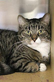 Domestic Shorthair Cat for adoption in Mission Viejo, California - Gandolph
